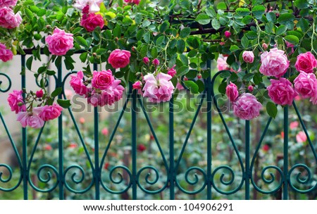 pink climbing rose with dew on blue forged fence in summer garden #104906291