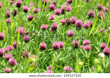 Pink clover flowers growing in the meadow