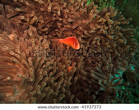 Pink clownfish (Amphiprion Perideraion) Great Barrier Reef Australia