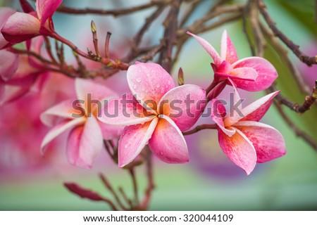 Pink color frangipani flower beauty. Plumeria Flower.