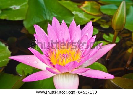 pink color lotus blooming in pond