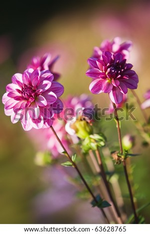 Pink colored dahlias in sunlight