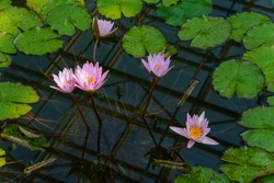 Pink colored Water lily