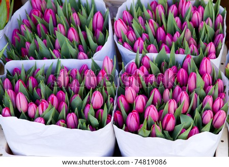 Pink colorful tulips closeup on sale in Amsterdam flower market
