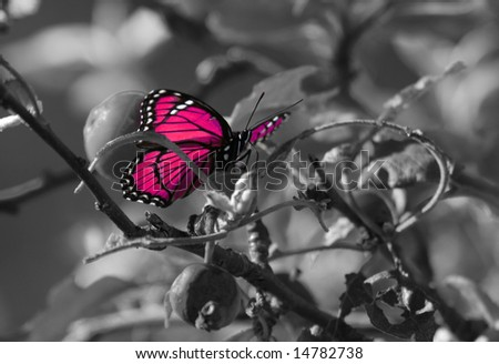 Pink colorized butterfly on Black & White background. - stock photo