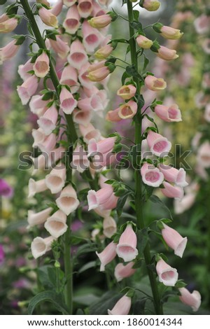 Pink common foxglove (Digitalis purpurea) Sutton's Apricot bloom on an exhibition in May Stock fotó ©