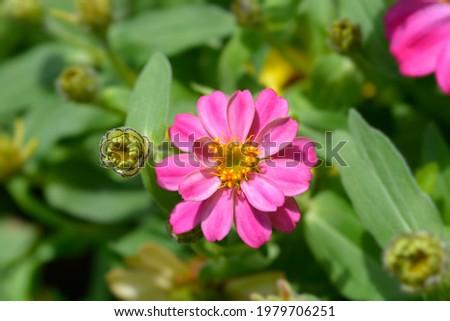 Pink common zinnia - Latin name - Zinnia elegans Stock fotó ©