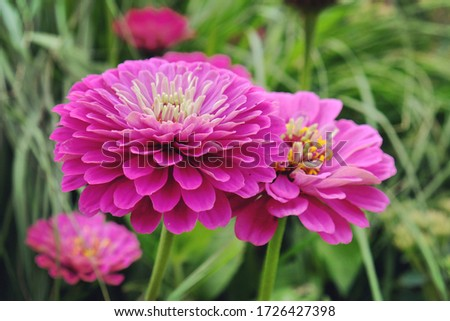 Pink Common Zinnia (Zinnia elegans) 'purple prince' in flower during the summer months Stock fotó ©