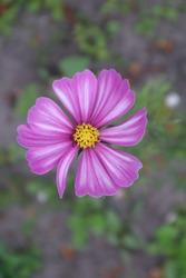 Pink cosmea flower in the garden