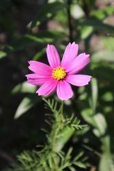 Pink cosmea flower in the meadow