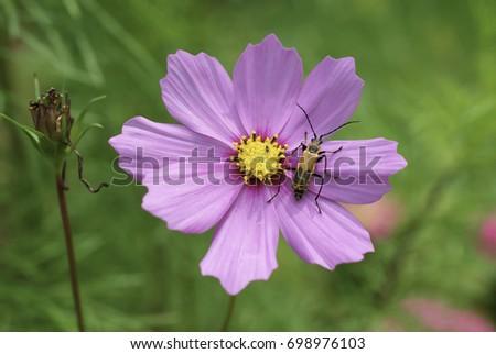 Pink Cosmo Flower Ez Canvas