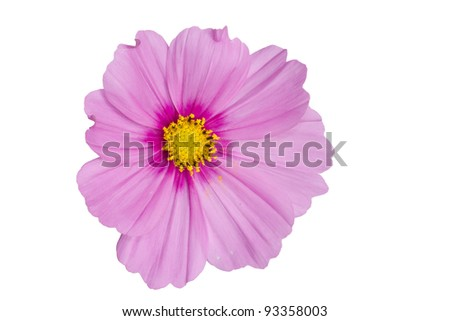 Pink Cosmo Isolated on White