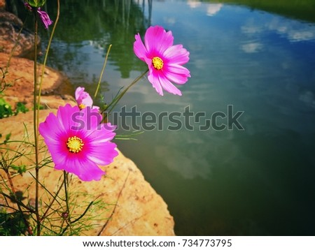 Free photos purple and yellow 8 petal flower avopix pink cosmos eight petals flower vintage style image background with copy space 734773795 mightylinksfo