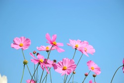 Pink cosmos flower blooming cosmos flower field with blue sky, beautiful vivid natural summer garden outdoor park image.