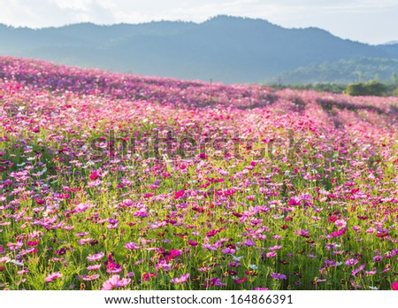 Pink cosmos flower fields with mountain background #164866391
