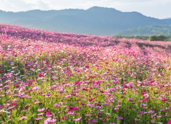 Pink cosmos flower fields with mountain background. Spring blossom nature