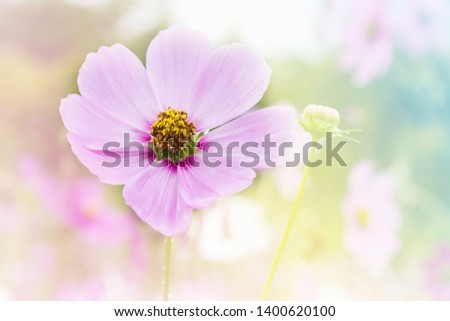 Pink cosmos flower in cosmos field in romantic dreamy colour mood nature background with copy space
