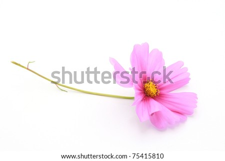 pink cosmos flower isolated on white #75415810