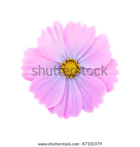 Pink cosmos flower isolated on white background #87100379