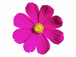Pink cosmos flower isolated on white background. Cosmos flower is an ornamental plant that is native to Central America. Is a short-lived flowering plant like cool weather.