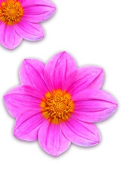 Pink Cosmos flower isolated on white. dicut save in jpg file Clipping paths.