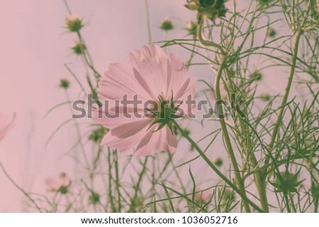 Pink Cosmos flower with blue sky.