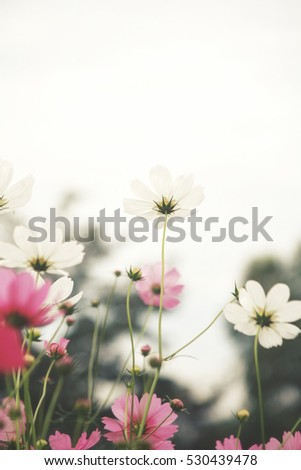 Pink cosmos flowers #530439478