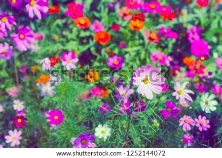 pink cosmos flowers blooming In the daytime. 
