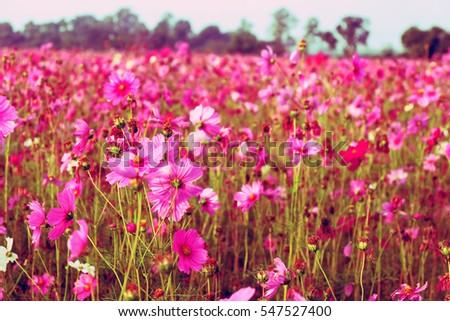 Pink cosmos flowers garden. #547527400