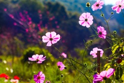 Pink cosmos flowers garden against warm sunlight in the morning.