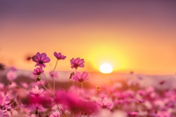 Pink cosmos flowers garden in sunset time