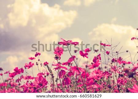 Pink cosmos flowers in garden. #660581629