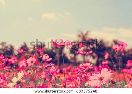 Pink cosmos flowers in garden. #683375248
