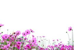 Pink cosmos flowers in garden on white background.