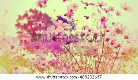 Pink cosmos flowers in the garden. #488232637