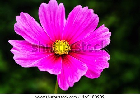 Pink Cosmos flowers in the garden, (Cosmos Bipinnatu, Cosmos Bipinnatus; Cosmos Sulphureus,Cosmos Gardens) Mexican Aster soft focus