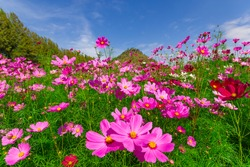Pink cosmos flowers in the garden with blue sky  background