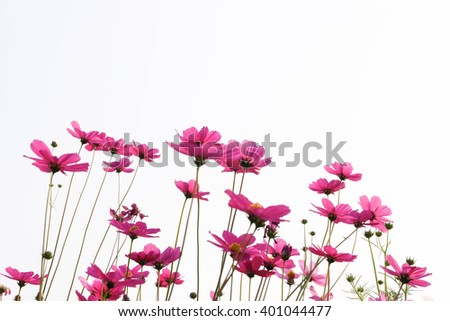 Pink Cosmos flowers isolated on white. #401044477