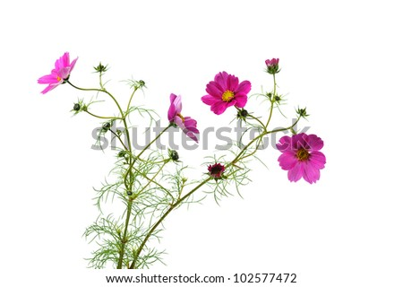 pink cosmos flowers isolated on white background - stock photo