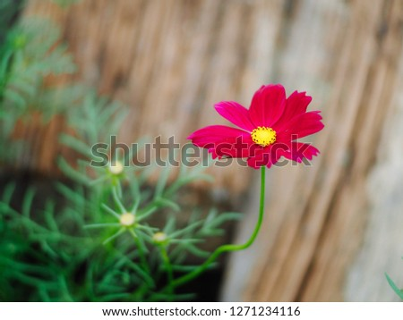 Pink cosmos flowers with wood floor background #1271234116