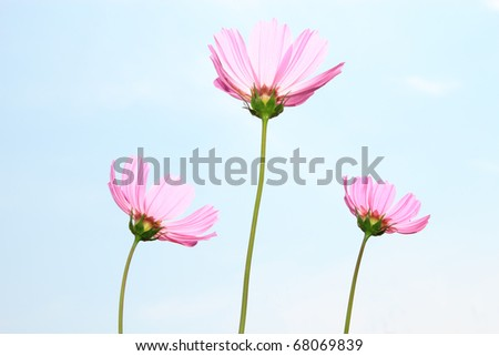 pink cosmos with clear sky - stock photo