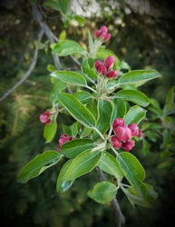 Pink crabapple blossom buds ready to burst open...