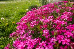 Pink creeping phlox. Blooming phlox in spring garden. Rockery with small pretty dark pink phlox flowers, nature background.