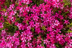 Pink creeping phlox. Blooming phlox in spring garden, top view close up. Rockery with small pretty dark pink phlox flowers, nature background.