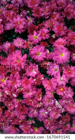 Pink Crisantemo Flowers with Rain Foto stock ©