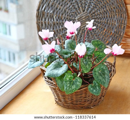 Pink cyclamen flowers in basket on a window in balcony