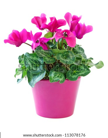 Free pink flowers pots 22157 stock photo avopix pink cyclamen in a flower pot isolated on a white background 113078176 mightylinksfo
