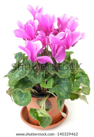 Pink cyclamen in a pot isolated on white background