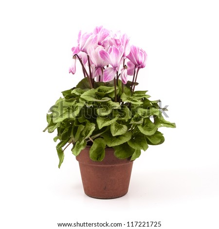 Pink cyclamen on a flower pot isolated on white background #117221725