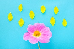 Pink dahlia and yellow petals on a blue background. Bright floral image. Weather concept. Top view, minimalism, copy space.